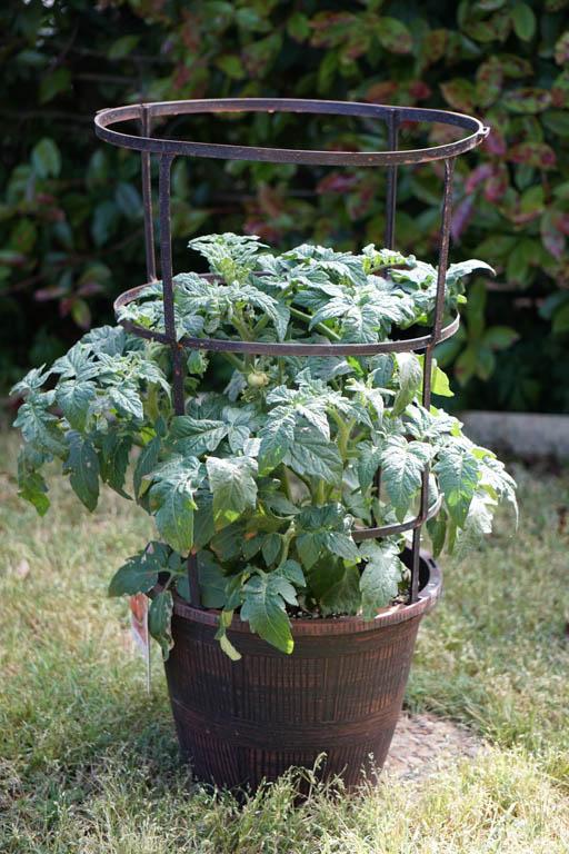Better Bush Tomato